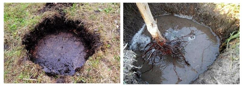 Грунтовые воды ограничивают доступ кислорода к корням саженцев, поэтому они погибают