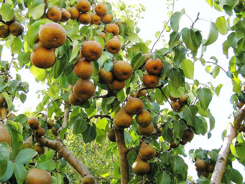 Груша Бере Боск хорошо растет и плодоносит только в южных регионах страны
