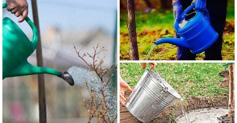 Груша плохо переносит засуху, поэтому для полноценного развития дерево нужно поливать