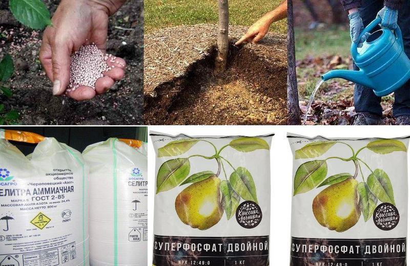 Грушевое дерево регулярно удобряют аммиачной селитрой и раствором суперфосфата