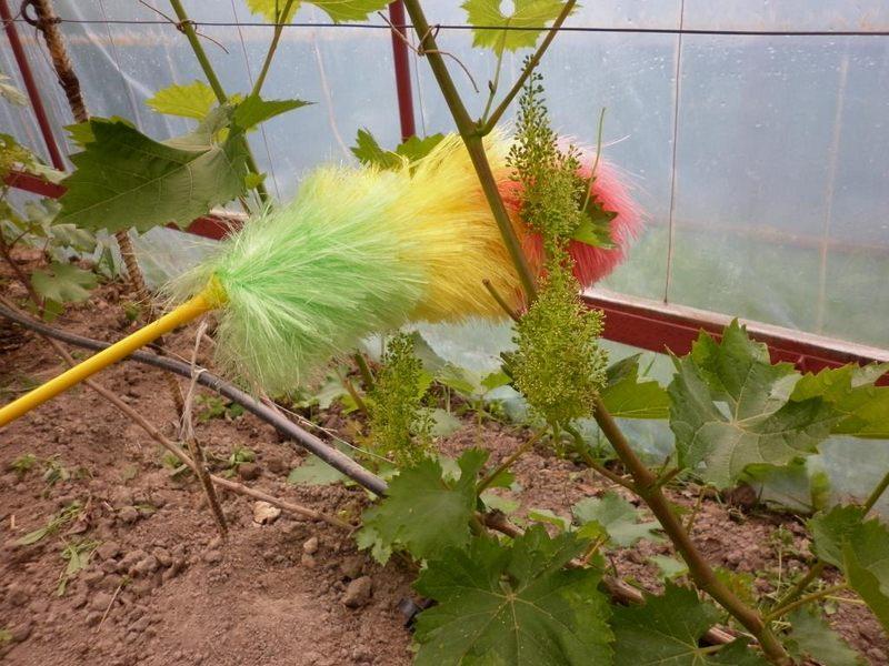 Искусственное опыление соцветий винограда повысит качество урожая