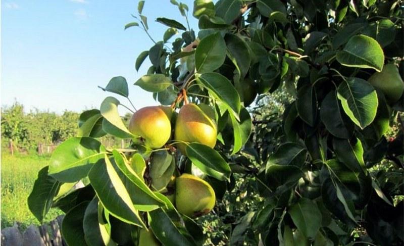Из достоинств сорта груши Лада следует отметить скороплодность и регулярное плодоношение