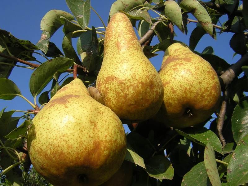 К достоинствам сорта относят крупный размер плодов и урожайность