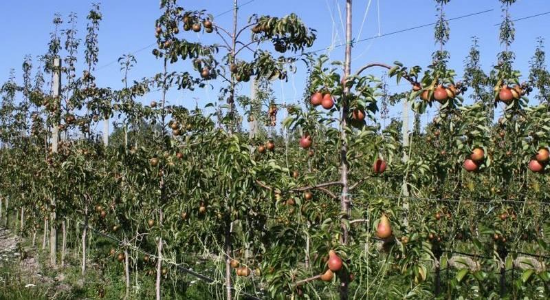 Кармен – сорт груши с плодами яркой окраски, который может произрастать в центральной полосе России