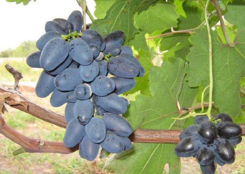 Каждая гроздь винограда в среднем весит 500 - 700 грамм