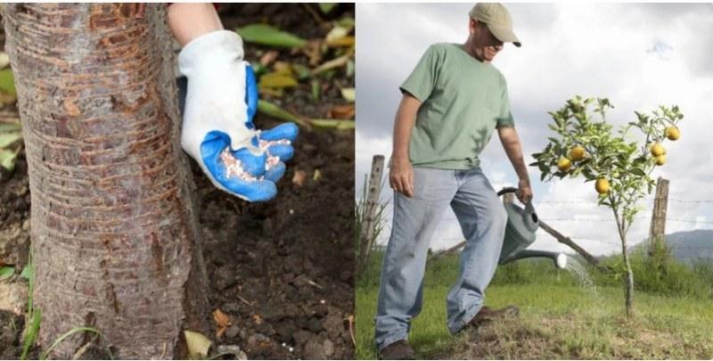 Каждые 6 месяцев в почву добавляют минеральные удобрения в процессе полива