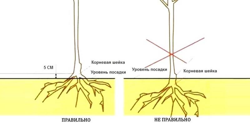 Корневая шейка саженца должна располагаться на одном уровне с верхним краем посадочной ямы
