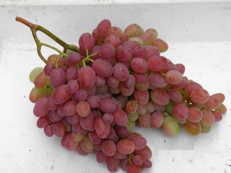Крупные кисти винограда достигают веса 900 грамм