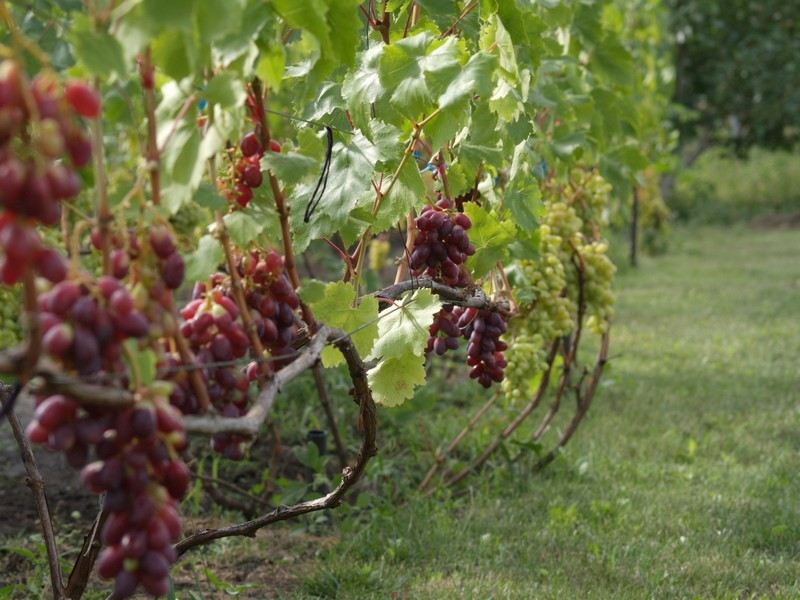 Куст винограда отличается большой сильнорослостью