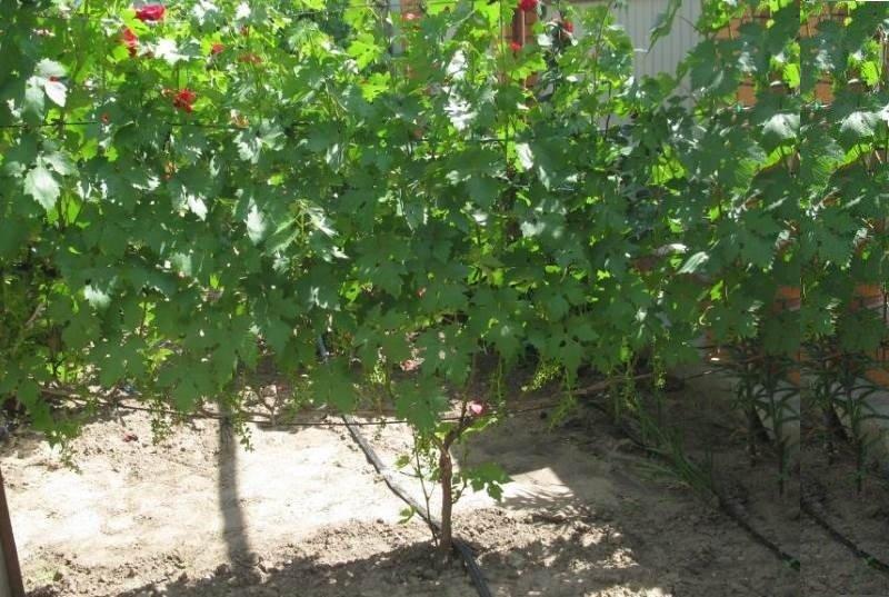 Кусты винограда обладают большой силой роста