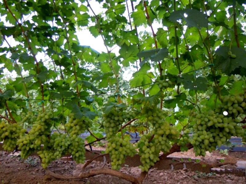 Кусты винограда растут медленно, но при этом сильно разрастаются