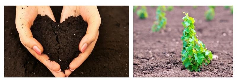 Лучше всего виноград чувствует себя в черноземе и легких суглинистых почвах