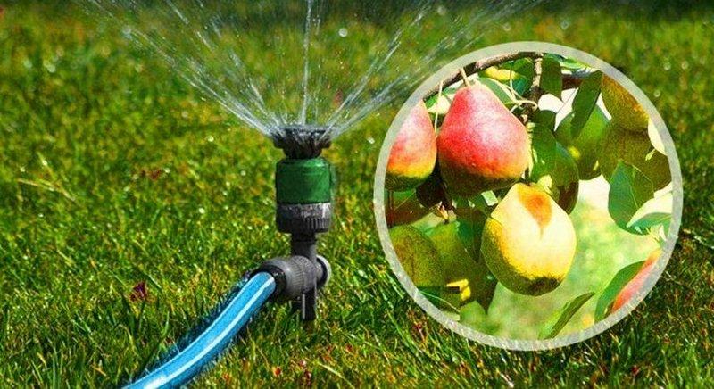 Лучший метод полива груши - это дождевание