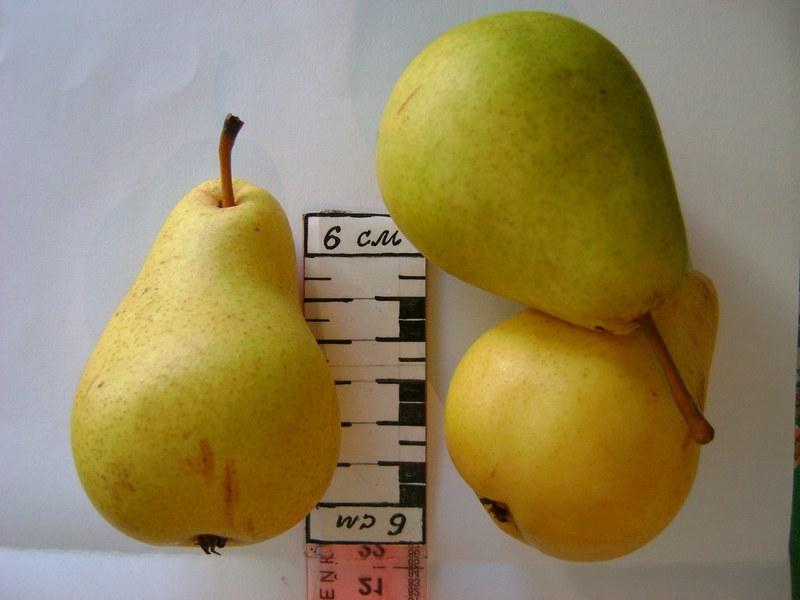 Масса одного плода составляет 100–130 грамм
