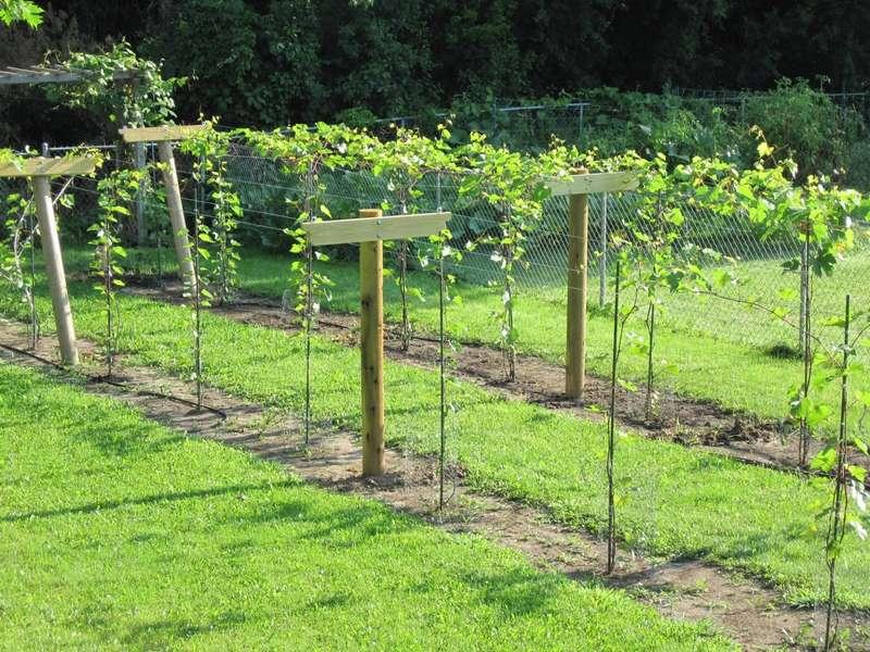 Место для виноградной лозы выбирают на южной стороне, чтобы участок хорошо прогревался солнцем