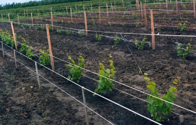 Между кустами винограда выдерживают интервал в 3-3,5 метра