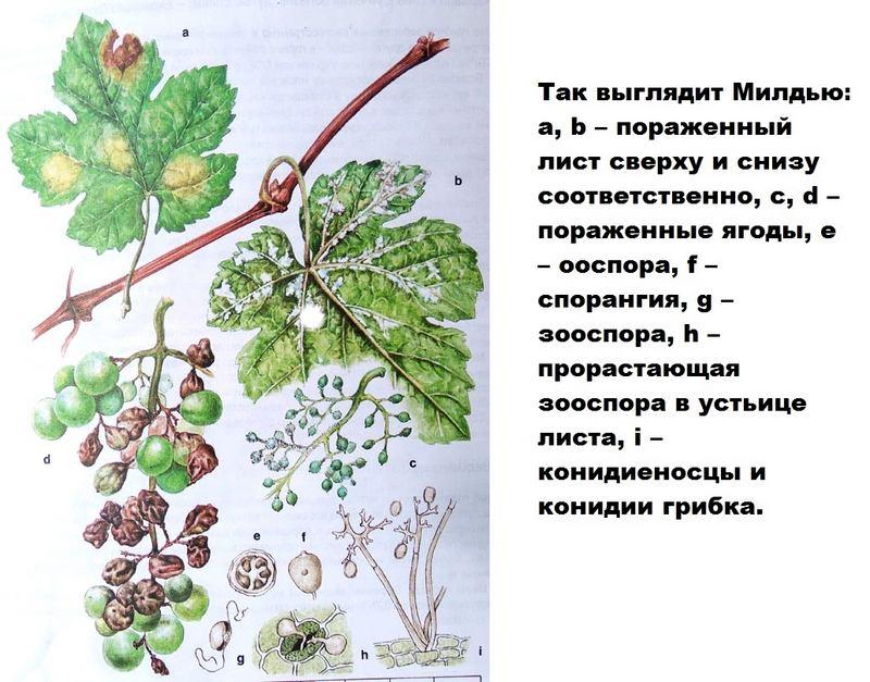 Признаки милдью на листьях винограда