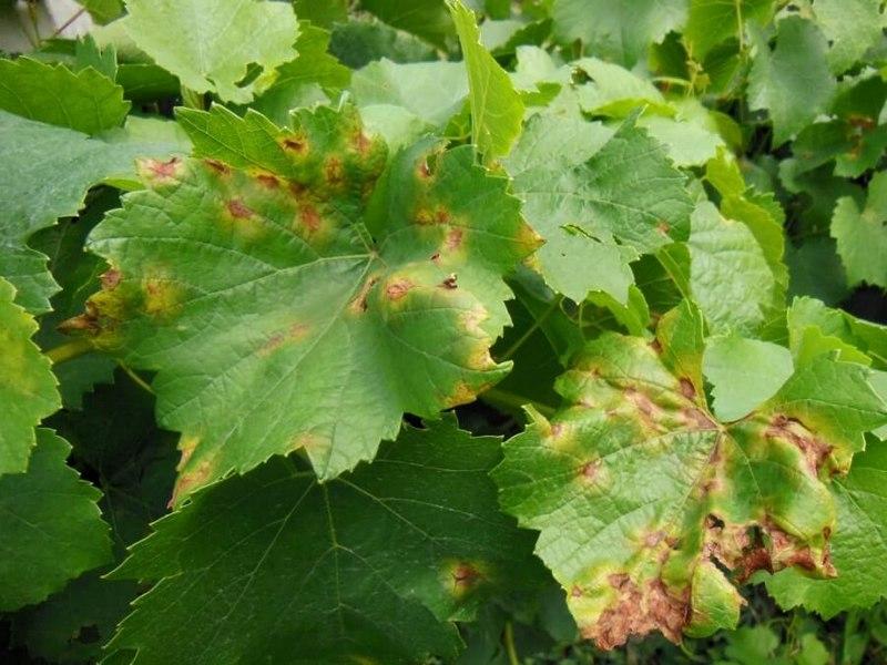 Милдью – грибковое заболевание, которое наносит больший урон винограду