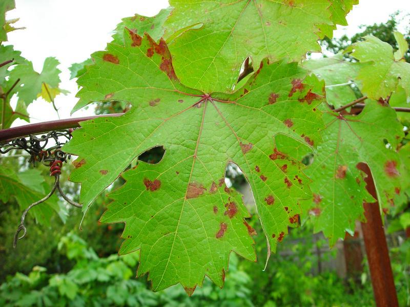 Милдью может уничтожить весь урожай и даже привести к гибели виноградного куста
