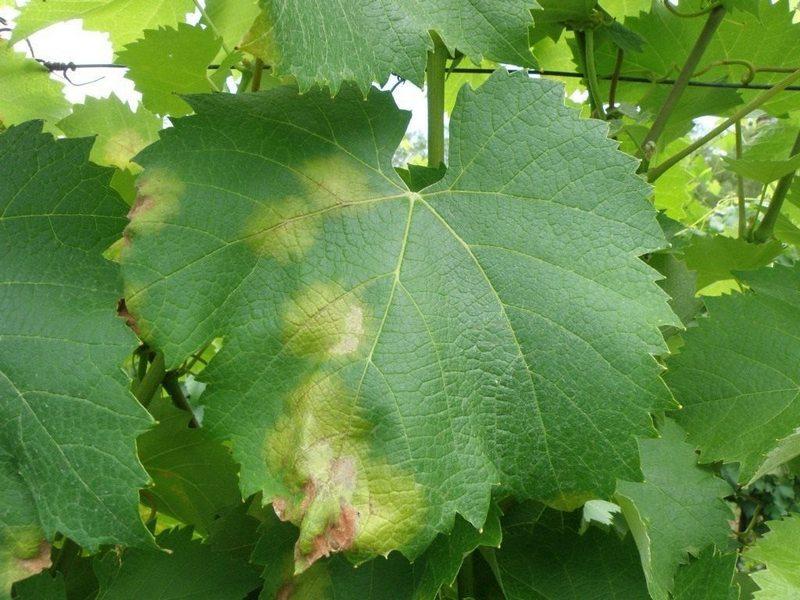Милдью поражает виноградную лозу в условиях повышенной влажности