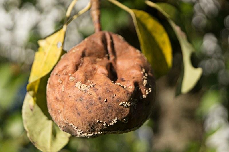 Монилиоз поражает плоды груши гнилью, делая их непригодными к употреблению
