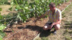 Мульчирование винограда следует производить после полива