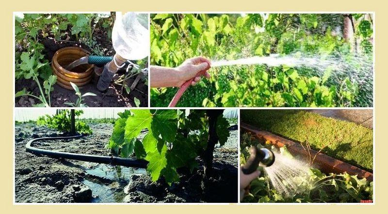 На каждом этапе своего развития виноград нуждается в определенном режиме полива