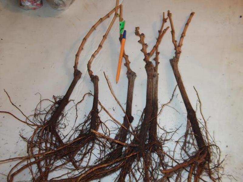 На корнях саженцев не должно быть никаких наростов и признаков повреждений