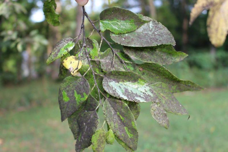 На листьях груши, поражённых сажистым грибком, появляется черный налет