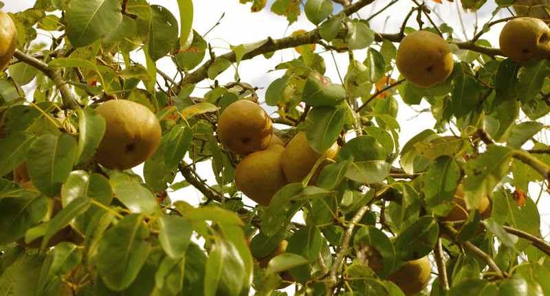 На семенном подвое плодовое дерево начинает плодоносить через 4-5 лет, а привитое на айву - через 2-3 года