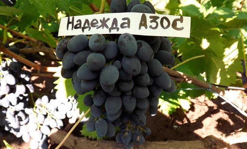 Надежда АЗОС - неприхотливый сорт винограда с прекрасными вкусовыми качествами