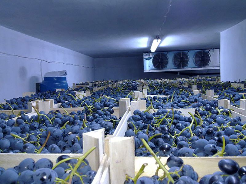 Наилучшим вариантом для хранения урожая винограда будут холодильные камеры