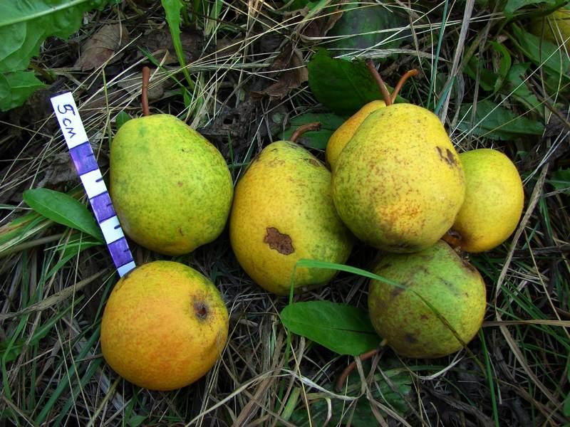 Недостатком сорта являются мелкие плоды