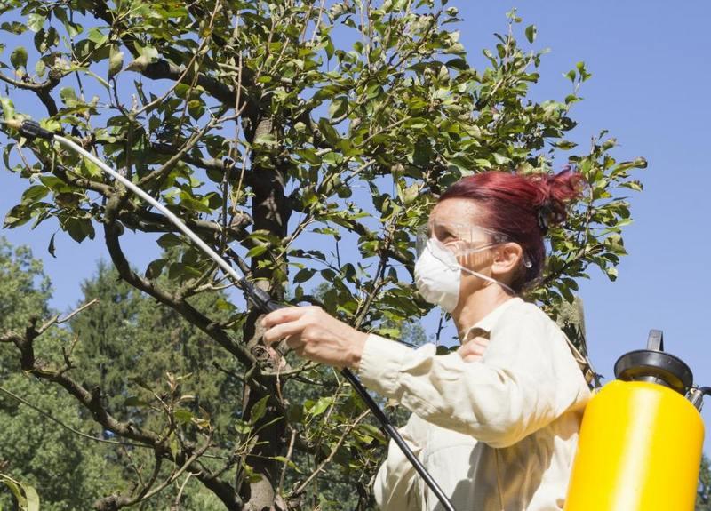 Необходимо периодически опрыскивать грушу инсектицидами от болезней и вредителей