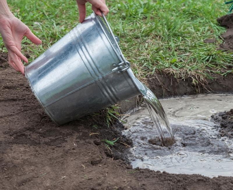 Норма полива составляет 2 ведра воды под взрослый куст