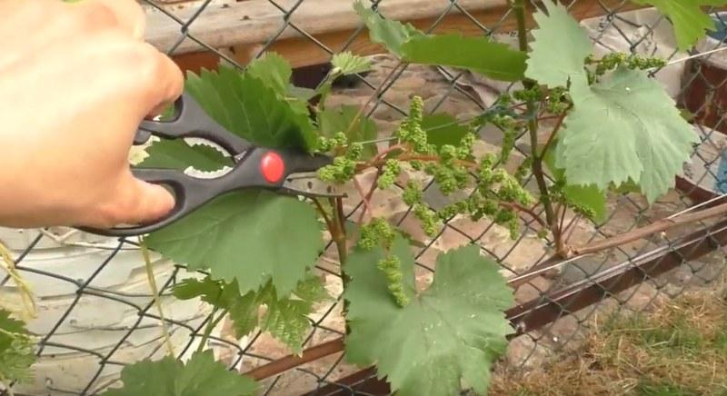 Нормирование количества кистей на винограде позволяет получить нужное количество качественных и вкусных плодов