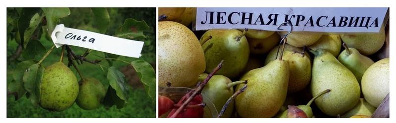 Новый сорт был получен путём скрещивания груш сорта Ольга и Лесная красавица