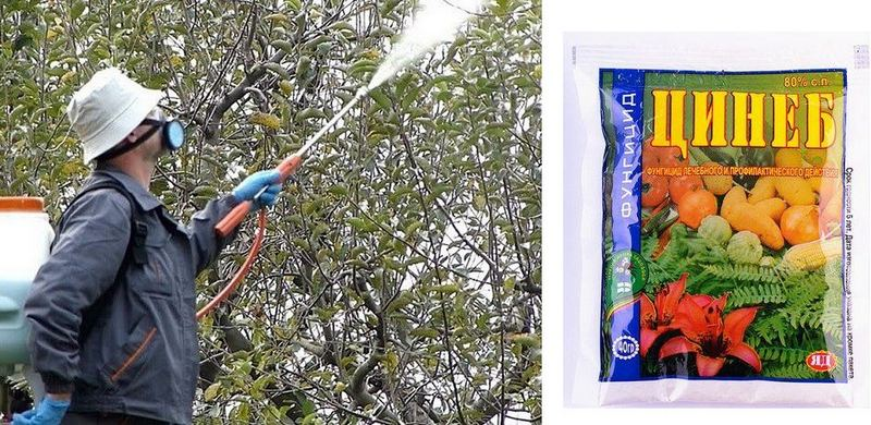 Обработка дерева раствором Цинеб предотвратит развитие септориоза
