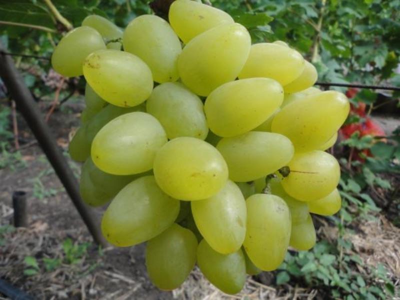 Одним из признаков зрелости винограда является цвет плодов