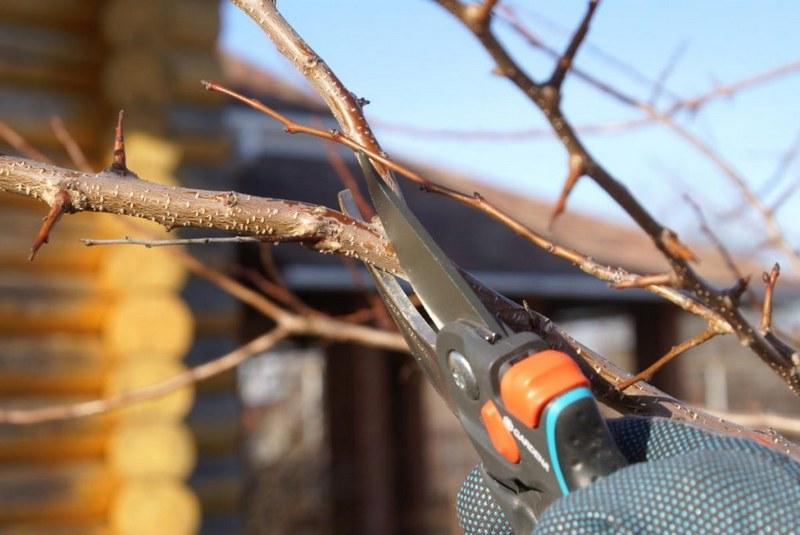 Осенью необходимо произвести санитарную обрезку груши