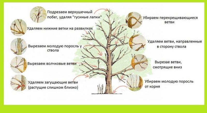 Основные принципы обрезки груши