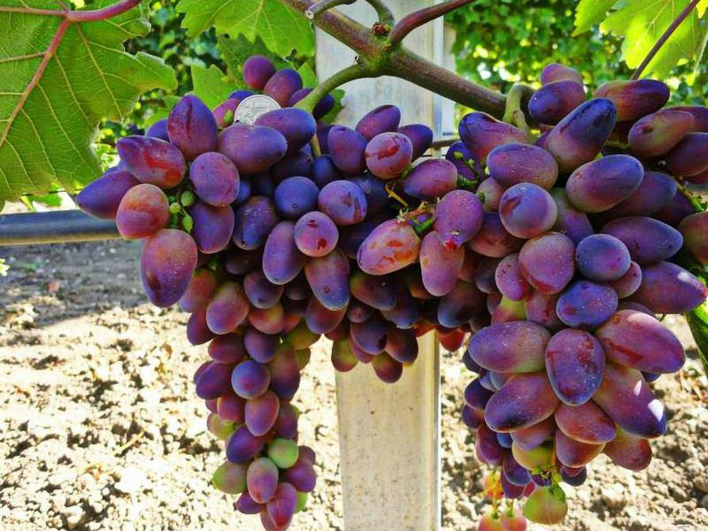К основным преимуществами винограда относят ранние сроки созревания и эффектный вид гроздей