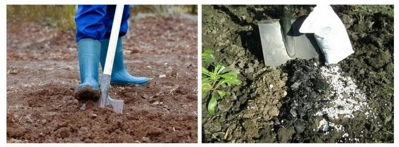 Перед посадкой саженца необходимо подготовить почву