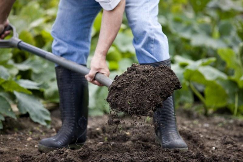 Перед посадкой винограда землю на участке перекапывают