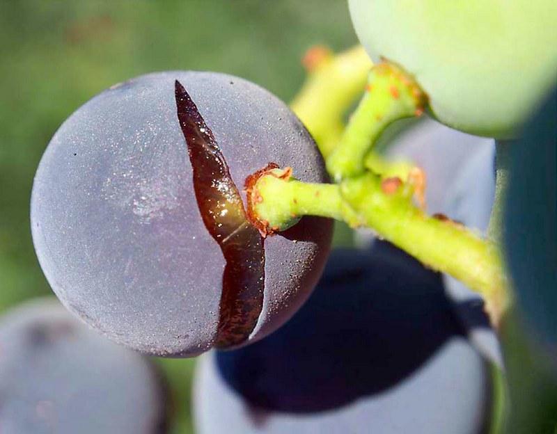 Перемена климата может вызвать растрескивание ягод винограда