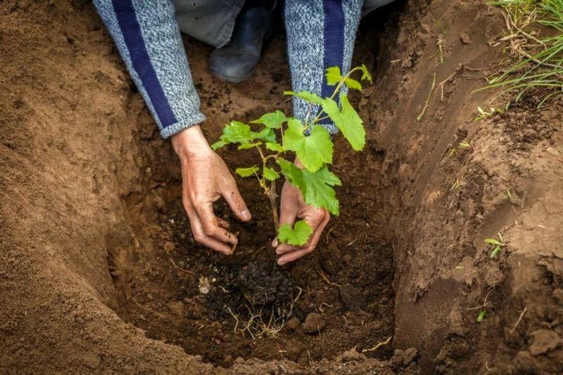 Период посадки винограда отличается в зависимости от климатических условий региона