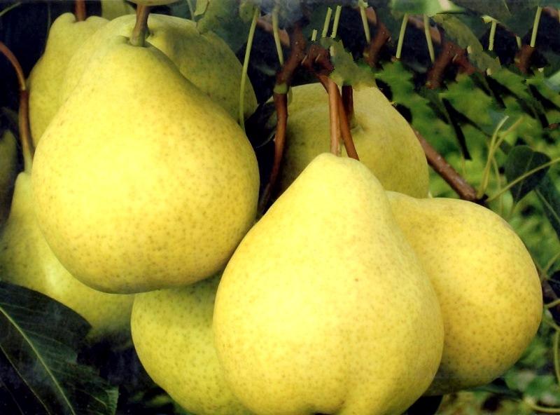 Плоды груши сочные и ароматные, с едва ощутимой кислинкой