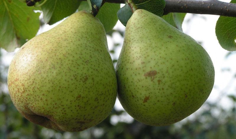 Плоды груши очень сочные, с приятным десертным вкусом