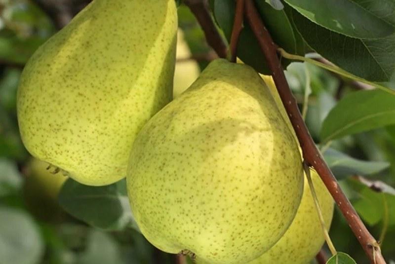 Плоды груши сорта Сказочная достаточно крупные, их вес может достигать 250 грамм