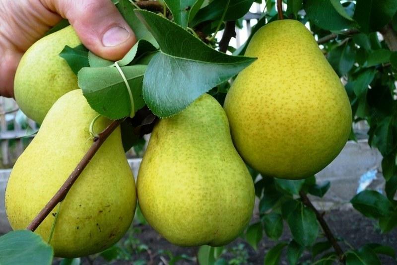 Плоды хорошо переносят транспортировку и хранение